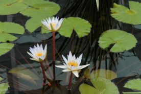 water-lilies_0159