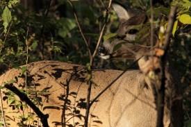 deer_1519