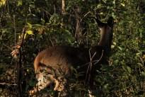 deer_1522