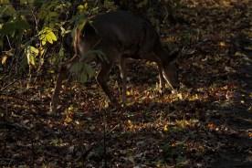 deer_1526