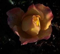yellow_pink_rose_1925b