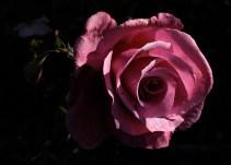 pink_rose_1933