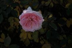 pink_rose_1938