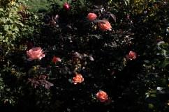 roses_1940