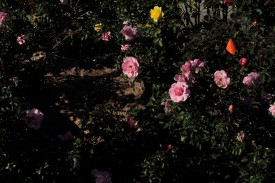 pink_roses_1949