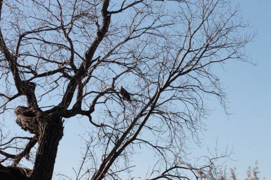 eagle_2101