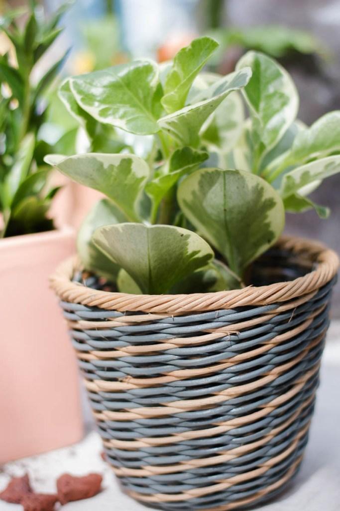 peperomia ikea planter