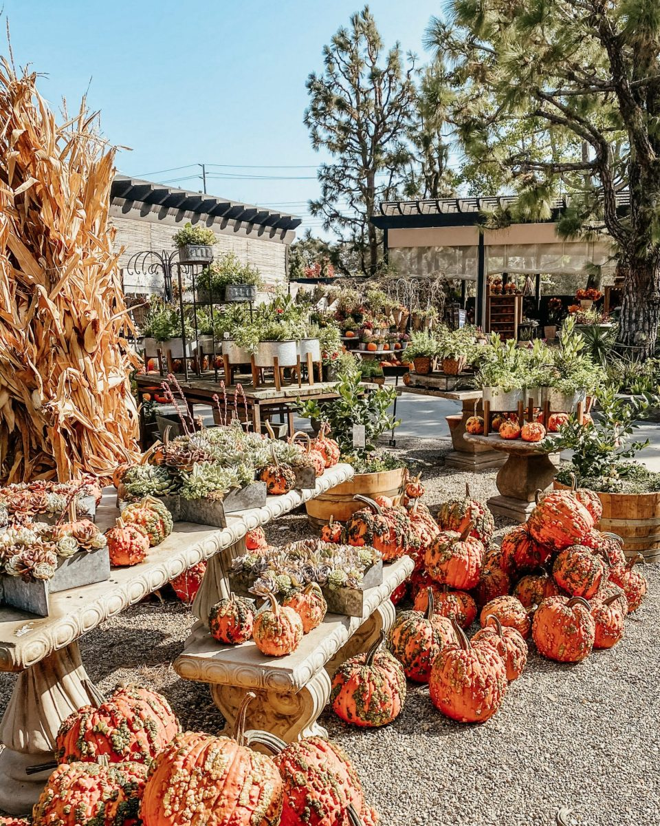 Pumpkins abound at the nursery! Interspersed with corn husks and succulents.