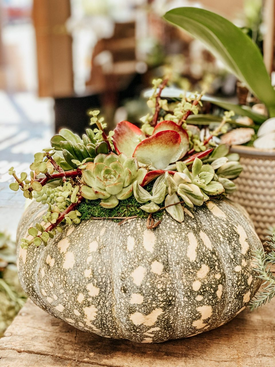A grey speckled pumpkin with an array of succulents on its top