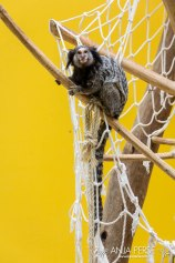 Marmoset monkey in ZOO