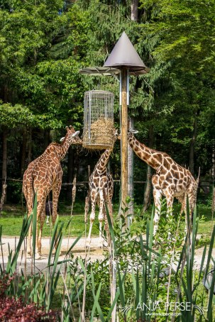 Giraffes eating lunch.