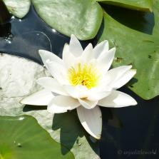 Summer Lovin' - Water Lily