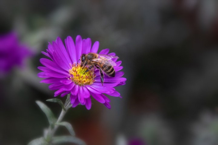 Aster met insect - Aster with insect