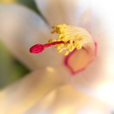 Lidcactus - Schlumbergera - Crab cactus