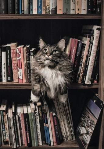 grey and white long coated cat in middle of book son shelf 156321 1 scaled e1592341148110