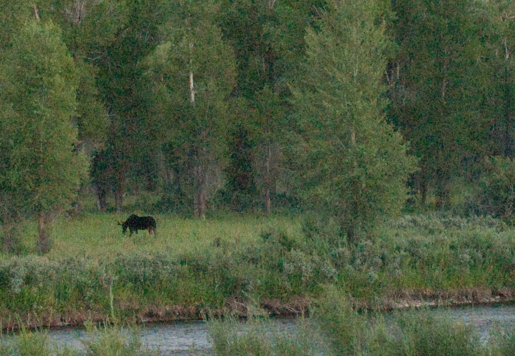 Bull moose outside of Grand Teton