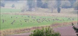 Mitt på dagen en vanlig oktoberdag ... många hjortar på en gång...