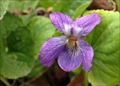 Luktviolen doftar verkligen viol! Minns du tablettasken Viol? Då minns du doften!