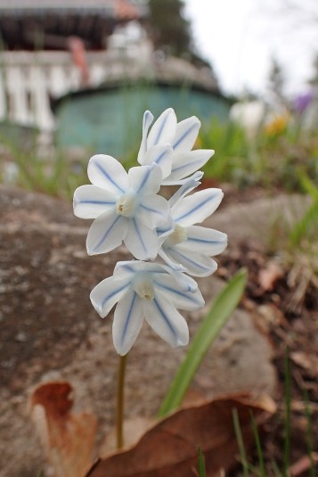 Porslinshyacinten blommar nu...