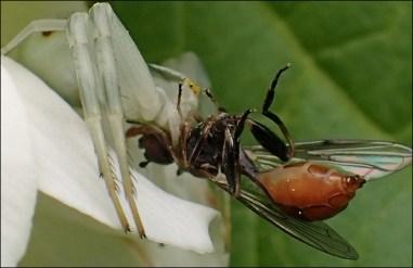 Att äta eller ätas ... den stackars stekeln sitter i krabbspindelns dödliga käft!