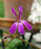 Doftpelargon Lavender Lindy eller Lavender Lad - doftar starkt av lavendel.
