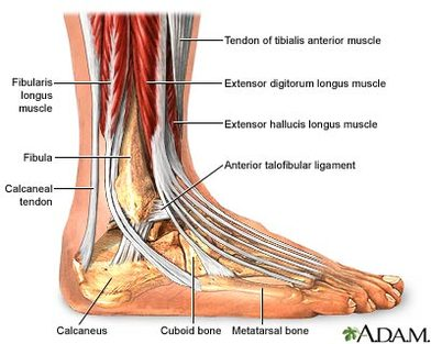 Diagram  The Ankle
