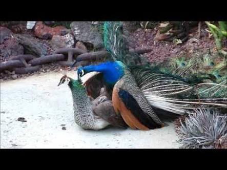Brahmachari Peacock