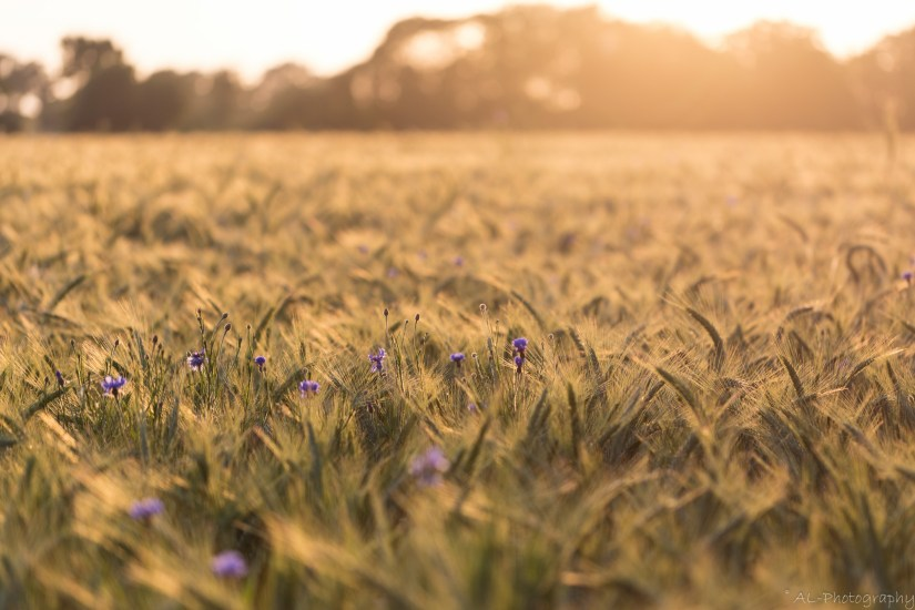 Cornflowers in golden light I