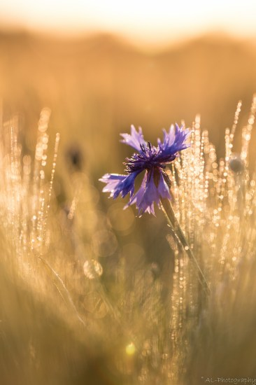 Cornflowers in golden light III