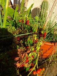 reiche Ernte eines unbekannten Chili