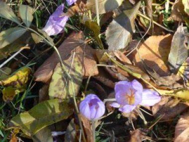 Wild autumn crocuses, Parc du Morbras, Sucy-en-Brie