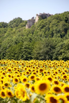 Sunflower fields with an old chateau in the background