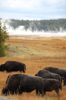 Yellowstone National Park - wild buffalo with springs in the background