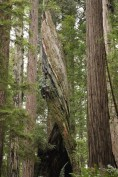 Giant (and spiraled) Redwoods at Redwood National and State Parks, California