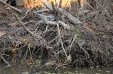 Slightly bigger (but still small) alligator on the swamp tour in Slidell, Louisiana