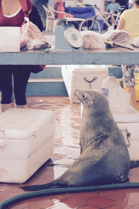 An inquisitive sea lion trying to catch some fish at the fish market on Santa Cruz Island, Galapagos