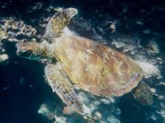 Swimming with sea turtles near Espanola Island, Galapagos