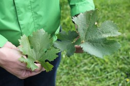 We learned about the differences in grapes used for different wines (the leaves in this picture are from cab sav, merlot and malbec vines), Bodega Lopez, Maipu, Argentina
