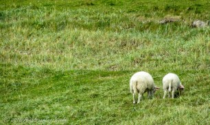 Sheep grazing the meadows in Hauklan Beach