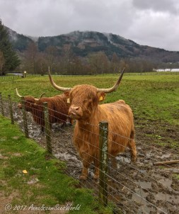 We found some Highland cows, aka hairy coos, on a pasture