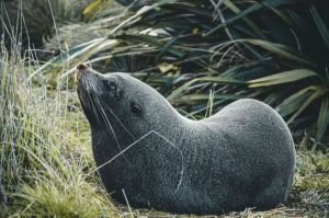 A seal in the bush looking upward at Kaikoura peninsula walkway