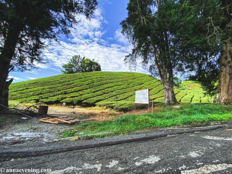 A tea farm view