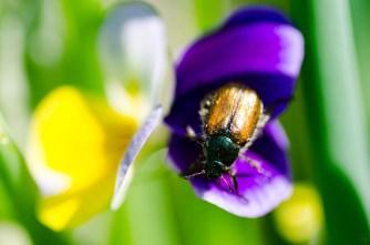 Beetle on Viola Tricolor