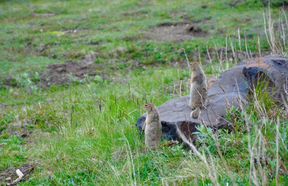 Arctic ground squirrels