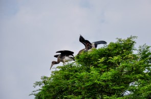 Black ibis and young storks