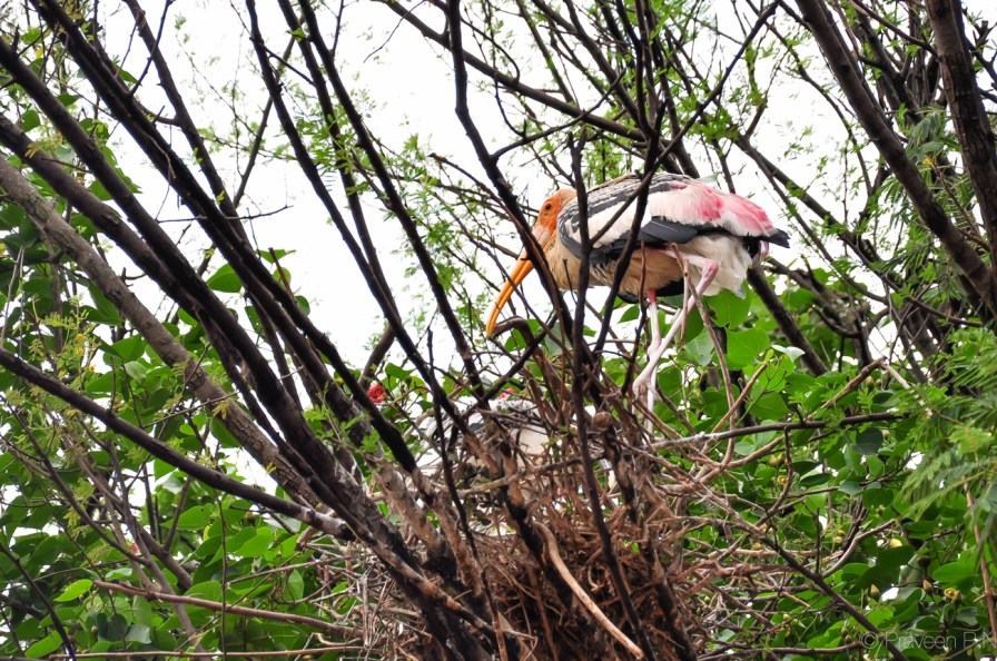 inted stork sitting on its nest