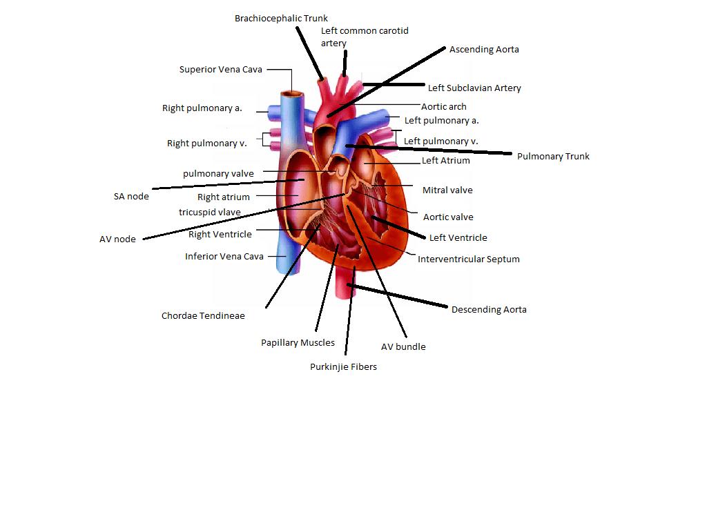 cardiac conduction system diagram epiphone dot wiring heart anna 39s anatomy website