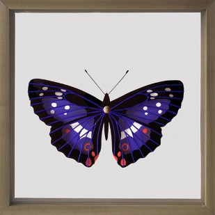 entomologia butterly colore lepidotteri farfalla