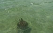 tartaruga marina (immagine estratta dal video di Simone Chiesa)