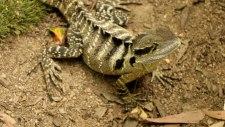 Water Dragon Lizard (foto: Anna Luciani)